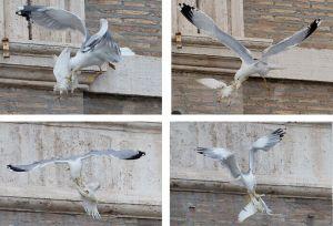 Des mouettes aussi ont attaqué les colombes de la paix du Pape