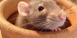 Au Gabon, on déguste des rats palmistes qui ressemblent beaucoup aux rats domestiques. © Smithsonians' national zoo / Flickr
