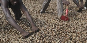 Culture et séchage des noix de cajou. Le 31 mai 2013 à Abidjan. © Olivier pour Jeune Afrique