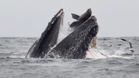 Sea lion captured falling in mouth of whale in rare photo